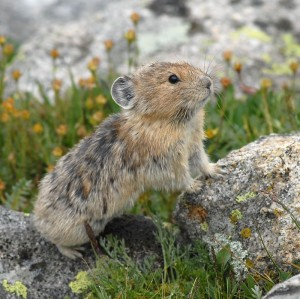 Pika - World's Cutest Ruminant (photo by Stephen R. Jones)