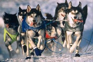 Iditarod_Sled_Dog_Race