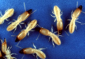 Termites from Wiki Commons